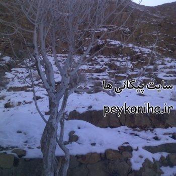 برف در محمد نوجوان و درخت کوهی