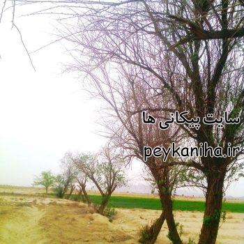 درختان صحرای پیکان